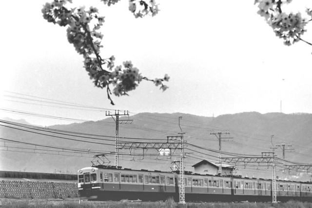 京阪橋本1900系と桜.JPG